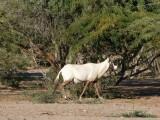 Arabian Oryx Sir Bani Yas Island Abu Dhabi 1.jpg