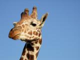 Giraffe Sir Bani Yas Island Abu Dhabi 2.jpg