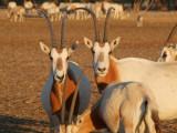Scimitar Horned Oryx Sir Bani Yas Island Abu Dhabi 4.jpg