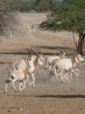 Scimitar Horned Oryx Sir Baniyas Island Abu Dhabi 7.jpg