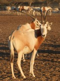 Scimitar Horned Oryx Sir Bani Yas Island Abu Dhabi 8.jpg