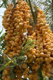1336 16th July 06 Dates ripening in the sun.JPG