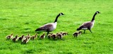 Canadian Geese Family Life