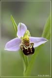 Bijenorchis - Ophrys apifera