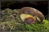 inktboleet (Boletus pulverulentus)