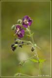 Donkere ooievaarsbek - Geranium phaeum