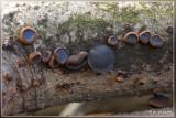 Zwarte Knoopzwam - Bulgaria inquinans
