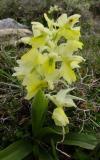 Orchis pauciflora