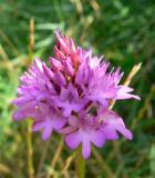 hondskruid (orchis)