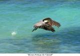 005  Brown Pelican At Takeoff.jpg