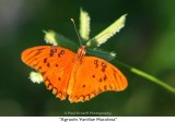 036  Agraulis Vanillae Maculosa.jpg