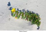 048  Beach Flower.jpg