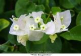 092  White Bougainvillea.jpg