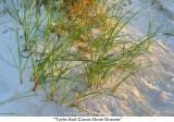 110  Turks And Caicos Dune Grasses.jpg