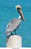 121  Pelican Pose.jpg