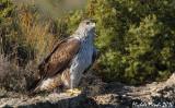 Bonelli's eagle male