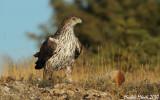Bonelli's eagle female