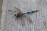 libellen, vlinders, insecten