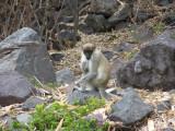 The monkeys are wild