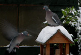 Hungry Woodpigeon early morning.jpg