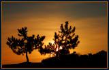 Scrub Pine Sunrise