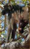 baboon young hanging around
