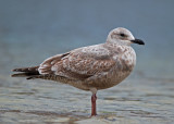 First-cycle hybrid or Slaty-backed Gull