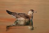 Utah Rare Birds