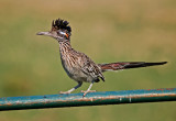 Cuckoos & Roadrunners
