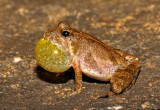 Cricket Frogs