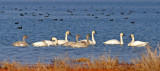 Tundra and Trumpeter Swans
