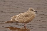 Thayer's Gull  (first-cycle)