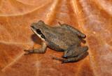 Chorus Frogs