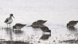 Long-billed Dowitchers & Greater Yellowlegs