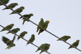 Red-crowned & Yellow-headed Parrots