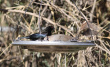 Bronzed Cowbird & White-winged Dove