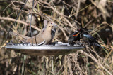 White-winded Dove, Bronzed Cowbird, & Red-winged Blackbird