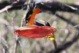 Altamira & Audubon's Orioles