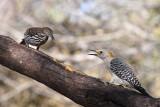 Long-billed Thrasher & Golden-fronted Woodpecker