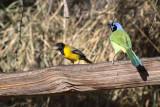 Audubon's Oriole & Green Jay