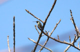 Slender Sheartail