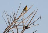Orchard Oriole & Berylline Hummingbird