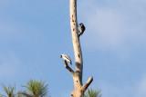 Masked Tityra & Acorn Woodpecker