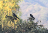 Melodious Blackbirds
