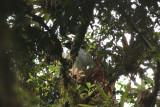 Horned Guan
