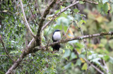 Blue-and-white Mockingbird