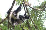 Central American Spider Monkeys
