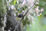 Rufous-browed Wren