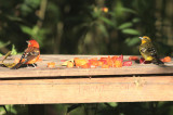 Flame-colored Tanagers