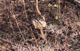 Stripe-headed Sparrows